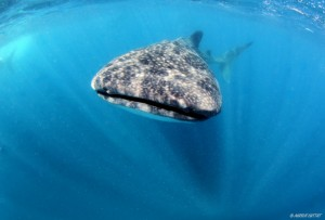 Whale shark trip - Isla Mujeres - Mexico